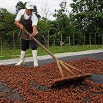 Siete áreas naturales protegidas producen el mejor cacao peruano