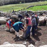 Productores de Uchuraccay y Santillana protegen animales contra enfermedades prevalentes