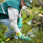 Ayacucho: Vigilancia fitosanitaria en 746 hectáreas para detección de roedores