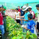 Mazamari: Devida cuenta con más de 400 mil plantones de cacao finos y aromáticos para ser sembrados