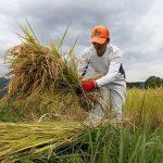 """Nueva variedad de arroz """"San Isidro"""" rinde más de diez toneladas por hectárea"""