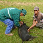 Senasa inició vacunación contra la peste porcina en Ayacucho