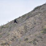 Piura: Culminó campaña de monitoreo del Cóndor en la Zona Reservada Illescas