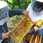 Amazonas: Senasa monitorea apiarios para descartar loque europea