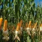Realizan encuesta nacional de intenciones de siembra en San Martín