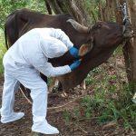 Amazonas: Senasa realizó simulacro para el control de fiebre aftosa