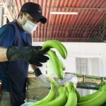 Minagri inaugura cámara de frío para conservación de banano orgánico en Piura