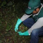 Refuerzan control de caracol gigante en la selva central