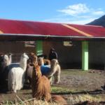 Incrementarán cobertizos para animales en cuatro regiones más contra heladas