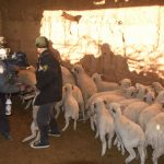 Junín: Desarrollan campaña sanitaria para ganado ovino en Chupaca