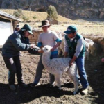 Minagri intensifica atención en animales por heladas en Apurímac