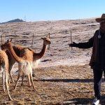 Avanza repoblamiento de vicuñas en Lambrama-Abancay