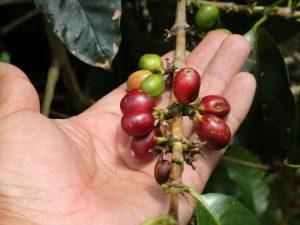 Minagri continúa empadronando a productores cafetaleros
