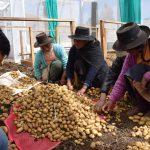 Agricultores de Huancavelica logran producir semilla certificada de papa