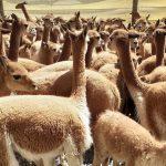 Alistan chaccu de vicuñas en la Reserva Nacional de Salinas y Aguada Blanca