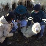 Atienden a más de 4 mil animales en sectores afectados por el volcán Ubinas