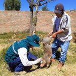 Campaña contra la peste porcina clásica protegerá a más de 60 mil cerdos en Junín