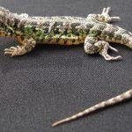 Ica: Descubren nueva especie de lagartija en la Reserva Nacional San Fernando
