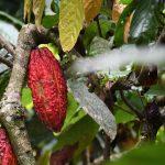 Evalúan remoción de cadmio en parcelas experimentales de cacao en Tocache y El Dorado