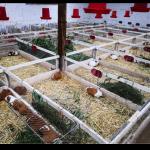 Priorizan crianza y producción de cuyes y porcinos en Ancash