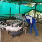 Proyectan vacunación de más de cuarenta mil cerdos en Amazonas