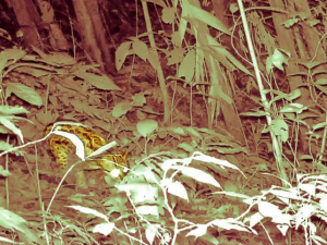 Divulgan imágenes del jaguar en el Parque Nacional Tingo María