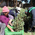 Plantarán más de 200 mil árboles en Junín