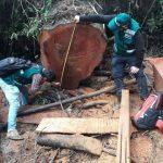 Cajamarca: Incautan 2813 metros cúbicos aserrados de madera extraída ilegalmente