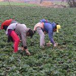 Benefician a 500 mil pequeños agricultores con semillas de calidad y proyectos de innovación