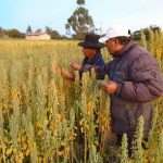 Optimizan rentabilidad de productores de quinua orgánica en Puno