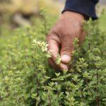 Arequipa: Exportan orégano de Lluta a Europa