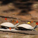 Madre de Dios: Incentivan el repoblamiento de tortugas taricayas