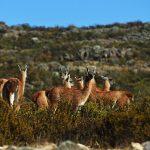La Libertad: Recuperan población de guanaco en la RN de Calipuy