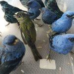 Ciudadano belga intentó salir del país con 20 aves peruanas