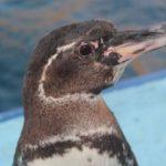 Científicos tratan de evitar la extinción del pingüino de las Islas Galápagos