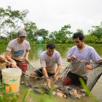 Piscicultores de Pichari inician cosecha de peces amazónicos