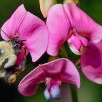Los abejorros 'pagan caro' el cambio climático