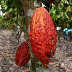 Colombia tomará como referencia el manejo del cacao en San Martín