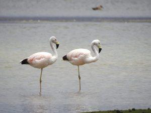 26 500 flamencos peruanos fueron contabilizados en censo internacional de estas aves