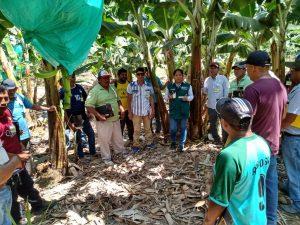 Piura: Intentan prevenir erwinia en el cultivo del banano