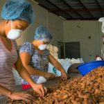 Promueven producción y comercialización del cacao en San Martín