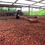 Huánuco: Dan S/ 500 mil para mejorar producción cacaotera en Codo del Pozuzo