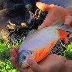 Huánuco: Invierten S/ 1.3 millones para impulsar producción de peces y café en Hermilio Valdizán