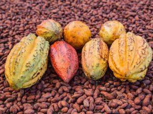 Huánuco: Impulsan producción cacaotera en la margen izquierda del río Huallaga