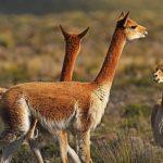 RN Pampa Galeras cumple 53 años preservando a la vicuña
