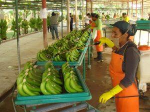 Piura: Incrementan niveles de exportación de banano orgánico a Europa