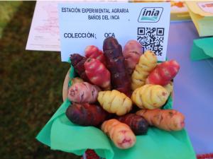 El Perú posee 41 variedades de papa de alta calidad genética y capacidad nutritiva