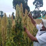 Desarrollan nueva variedad de quinua con alto valor nutricional y calidad genética