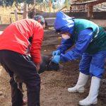 Desarrollan vacunación contra la peste porcina clásica en Junín