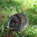 Identifican especie de rata chinchilla única del Santuario Histórico de Machupicchu
